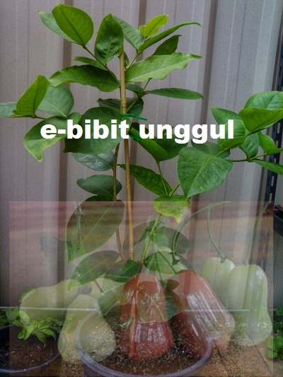 Jual Bibit Tanaman Unggul BIBIT JAMBU AIR TAIWAN SUPER GREEN UNGGUL