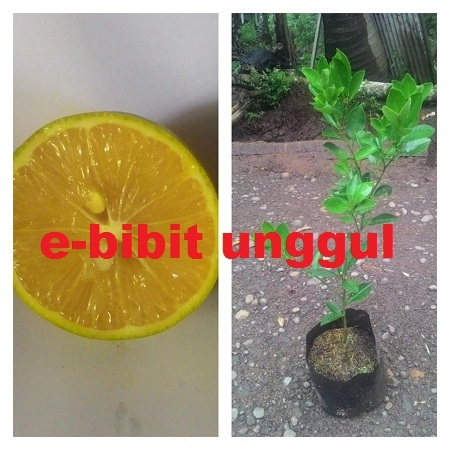Jual Bibit Tanaman Unggul BIBIT JERUK LEMON TEA UNGGUL